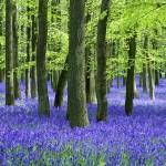 Bluebells under beech trees photo